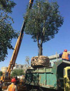 در حاشیهی انتقال درختان قبل از احداث پروژههای ساختوساز؛ سود و زیان فقط مالی نیست