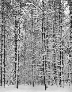 Trees and Snow, 1933